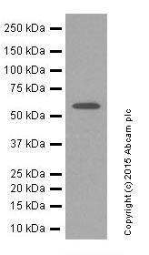 Western blot - Anti-CD147 antibody [EPR4052] (ab108317)