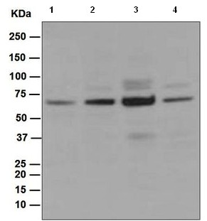 Western blot - Anti-CDC45L antibody [EPR5758] (ab108350)