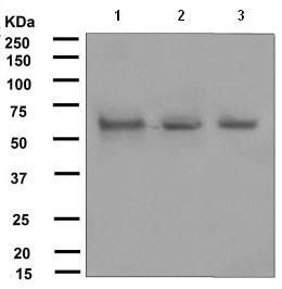 Western blot - Anti-Bora antibody [EPR4456] (ab108359)