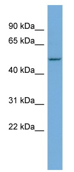Western blot - Anti-sphingosine-1-phosphate phosphatase 1 antibody (ab108435)
