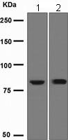 Western blot - Anti-TLK1 antibody [EPR2886] (ab108987)