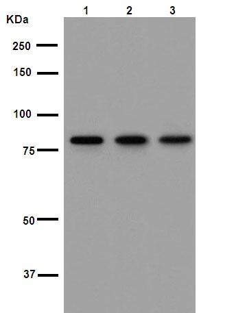 Western blot - Anti-TLR2 antibody [EPNCIR133] (ab108998)