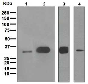 Western blot - Anti-UNG antibody [EPR4371] (ab109214)