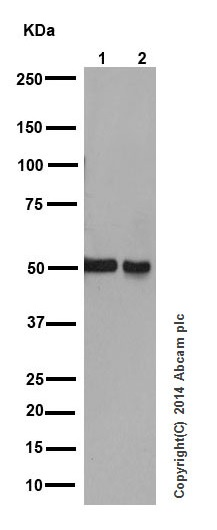 Western blot - Anti-IRF7 antibody [EPR4718] (ab109255)