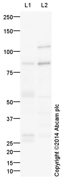 Western blot - Anti-PKC theta antibody (ab109481)