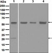Western blot - Apg12 antibody [EPR4799] (ab109492)
