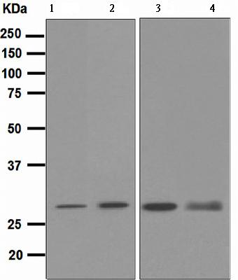 Western blot - Proteasome 20S C2 antibody [EPR5451] (ab109500)