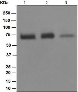 Western blot - Anti-NR2C2 antibody [EPR1772(2)] (ab109513)