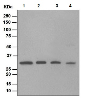 Western blot - Anti-Nucleoside phosphorylase antibody [EPR5714] (ab109559)
