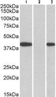 Western blot - Anti-FANCF antibody (ab109585)
