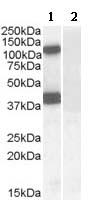 Western blot - Anti-EPB4IL2 antibody (ab109754)
