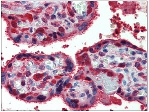 Immunohistochemistry (Formalin/PFA-fixed paraffin-embedded sections) - Anti-Peroxiredoxin 1 antibody (ab109766)