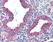 Immunohistochemistry (Formalin/PFA-fixed paraffin-embedded sections) - Anti-Hsp60 antibody (ab109873)