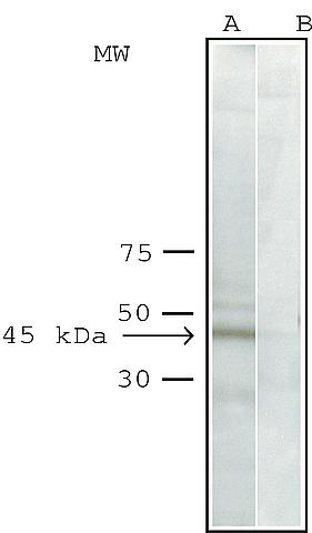 Western blot - Anti-ACTR1A antibody (ab11009)