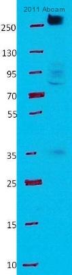 Western blot - Anti-Filamin A antibody (ab11074)