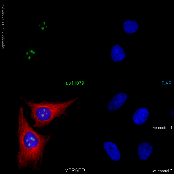 Immunocytochemistry/ Immunofluorescence - Anti-Histone H1.0 antibody [34] (ab11079)