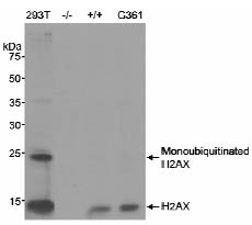Western blot - Anti-Histone H2A.X antibody - ChIP Grade (ab11175)
