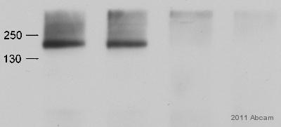 Western blot - Anti-l Afadin antibody (ab11337)