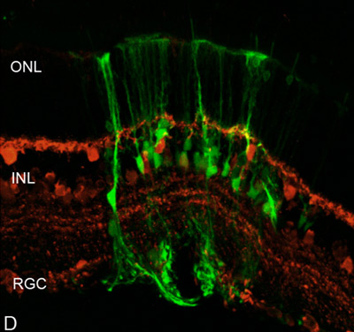 Immunohistochemistry (Frozen sections) - Anti-Calbindin antibody - Neuronal Marker (ab11426)