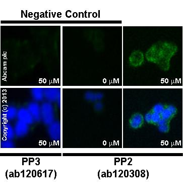 Immunocytochemistry/ Immunofluorescence - Anti-E Cadherin antibody [DECMA-1] (ab11512)