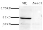 Western blot - Anti-MAD1 antibody (ab11691)
