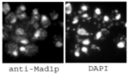 Immunocytochemistry/ Immunofluorescence - Anti-MAD1 antibody (ab11691)