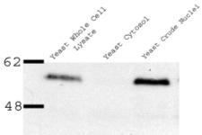 Western blot - Anti-Nup53 antibody (ab11692)