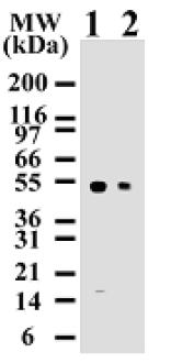 Western blot - Anti-Caspase-8 antibody [90A992] (ab11919)