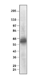 Western blot - Anti-E2F4 antibody [WUF11] (ab11951)