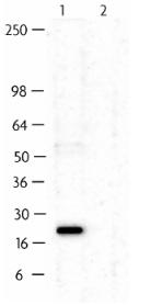 Western blot - Anti-MAX antibody (ab11984)