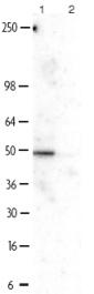 Western blot - Anti-NFIB / NF1B2 antibody (ab11989)
