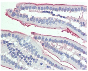 Immunohistochemistry (Formalin/PFA-fixed paraffin-embedded sections) - Anti-intestinal alkaline phosphatase antibody (ab110158)