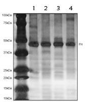 Immunoprecipitation - Anti-FH antibody [8F12BB5] (ab110286)