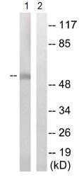 Western blot - Anti-ZnT1 antibody (ab110383)