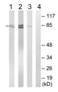 Western blot - Anti-SLCO1A2 antibody (ab110392)