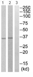 Western blot - Anti-OR10A7 antibody (ab110602)