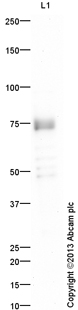 Western blot - Anti-FRMD6 antibody (ab110675)