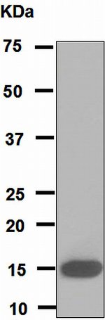 Western blot - Anti-PLA2G1B antibody [EPR5186] (ab110706)