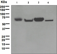 Western blot - Anti-ENTPD2 antibody [EPR3885] (ab110711)