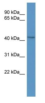 Western blot - Anti-BCAT1 antibody (ab110761)
