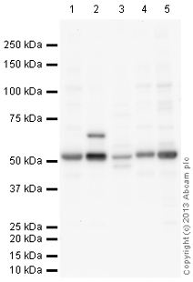 Western blot - Anti-TEA domain family member 2 antibody (ab110783)