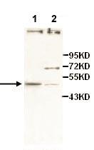 Western blot - Anti-ZFP161 antibody (ab110904)