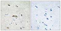 Immunohistochemistry (Formalin/PFA-fixed paraffin-embedded sections) - Anti-RPL39L antibody (ab110983)