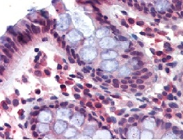 Immunohistochemistry (Formalin/PFA-fixed paraffin-embedded sections) - Anti-NCKAP1L antibody (ab111059)