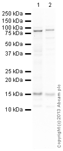 Western blot - Anti-SNRPD3 antibody (ab111094)