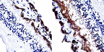 Immunohistochemistry (Formalin/PFA-fixed paraffin-embedded sections) - Anti-Retinal S antigen antibody [PDS1] (ab111108)