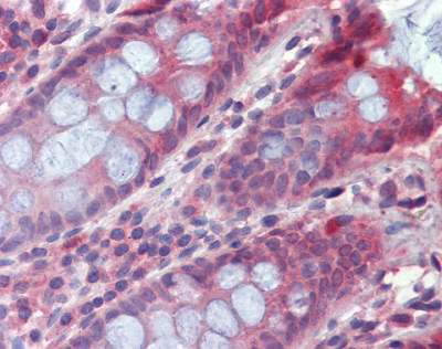 Immunohistochemistry (Formalin/PFA-fixed paraffin-embedded sections) - Anti-Two pore calcium channel protein 2 antibody (ab111145)