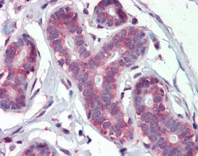Immunohistochemistry (Formalin/PFA-fixed paraffin-embedded sections) - Anti-IMPDH1 antibody (ab111229)