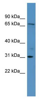 Western blot - Anti-RGL3 antibody (ab111338)