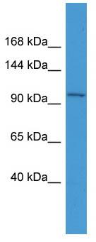 Western blot - Anti-SMUBP2 antibody (ab111364)